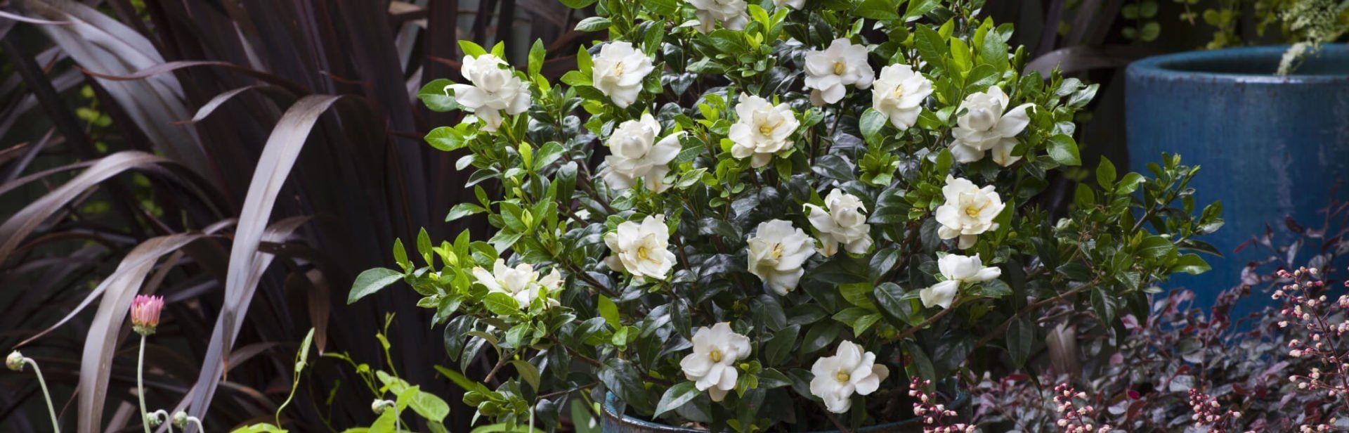 Gardenia Games Diy Garden Gardenia Plants