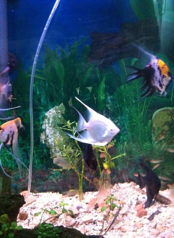 Scalaire blanc scalaire color poissons tropicaux le for Aquarium bocal