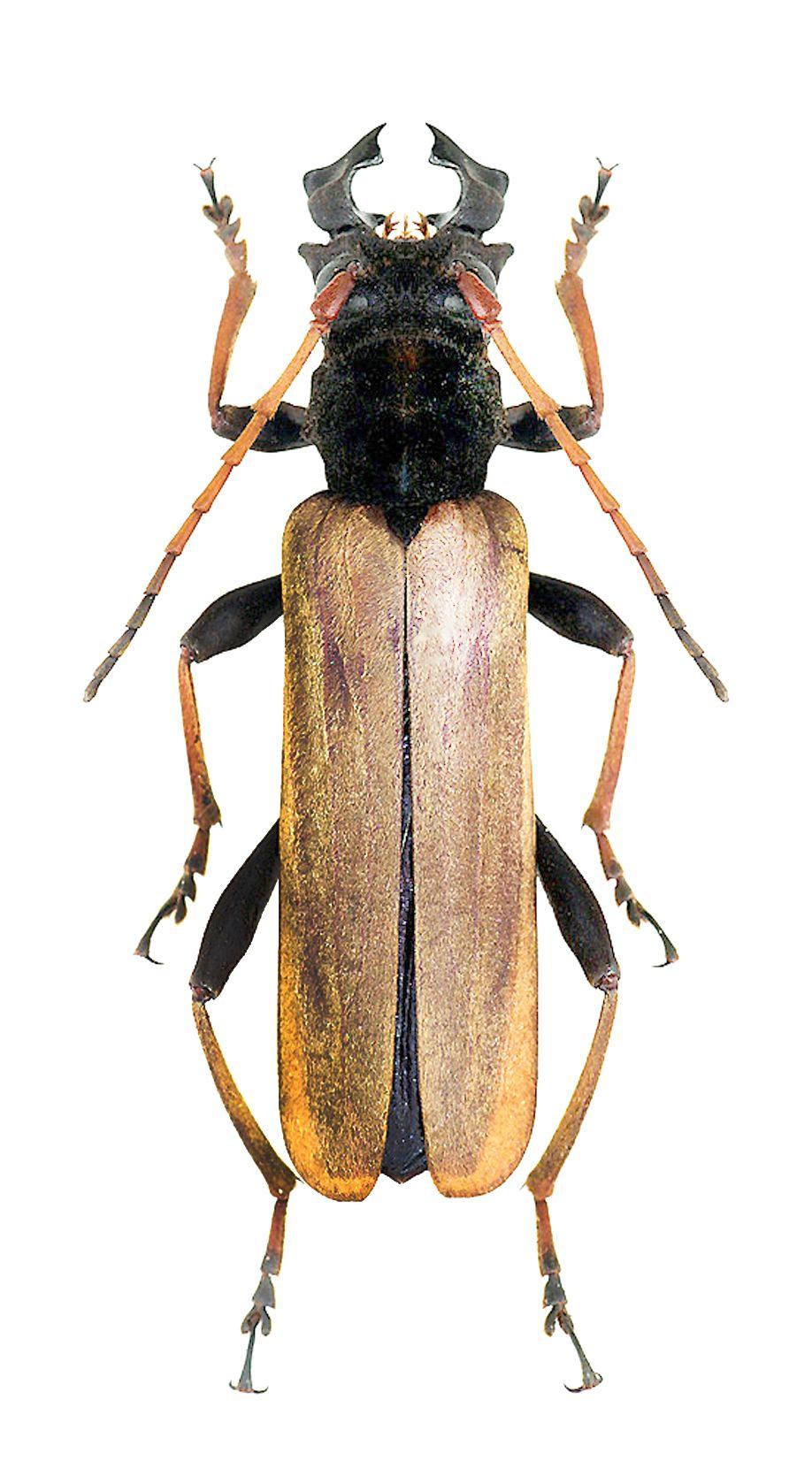 Hexamitodera sulcognatha