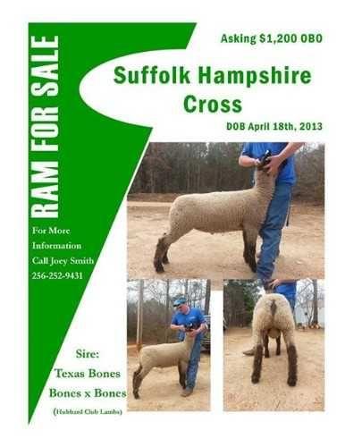 Suffolk/Hampshire Ram Cross- Born April 18, 2013  Texas X Texas.  Sire Texas Bones.  For more information contact Joey. $1,200.00 USD
