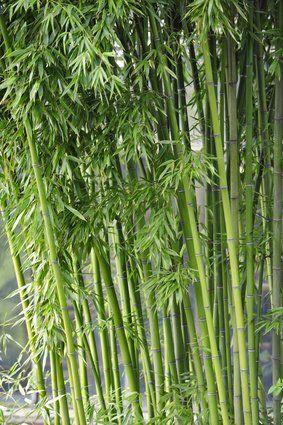 Bambus Fargesia Yunnanensis Keine Rhizomsperre 10 Samen Bamboo