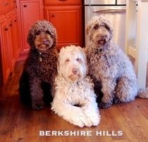 Berkshire Hills Australian Labradoodles I Love The Color Of These