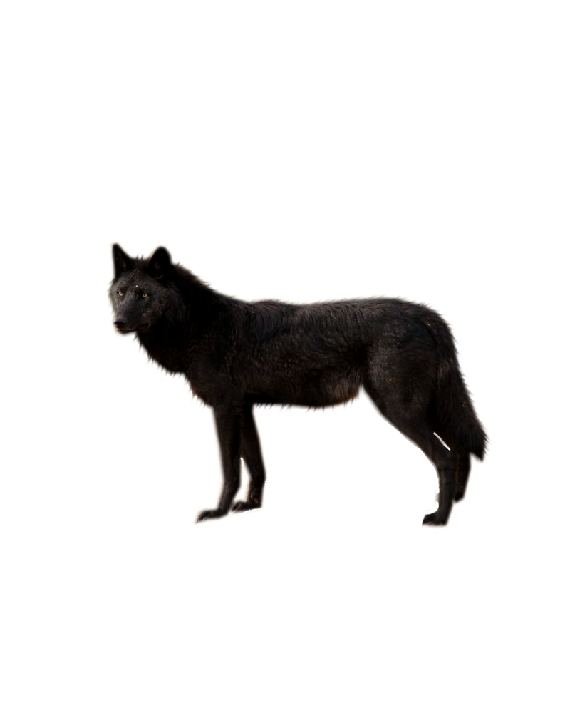 Black Wolf Png By Shadowedxlegacy On Deviantart Black Wolf Animals Png
