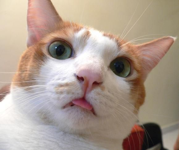 The World S Top 10 Best Images Of Cats Poking Their Tongues Out 9