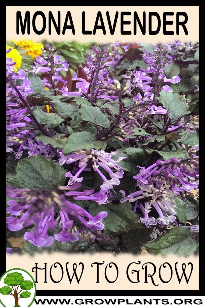 Photo of Mona lavender – How to grow & care