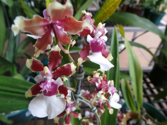 Chocolate Orchid Brazil