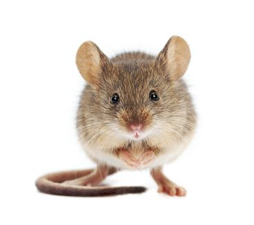 Der Mice Quotient Von Orson Scott Card Mausefallen Acrylmalerei