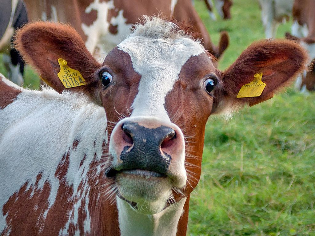 Photo of a cow with a shocked look on his face