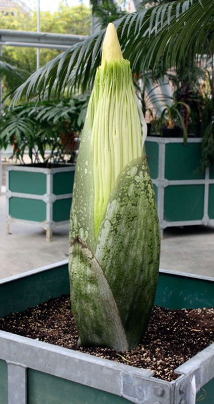 Corpse Flower Stink Lures Swarms Of Flies Humans Weird Plants Plants Rare Plants