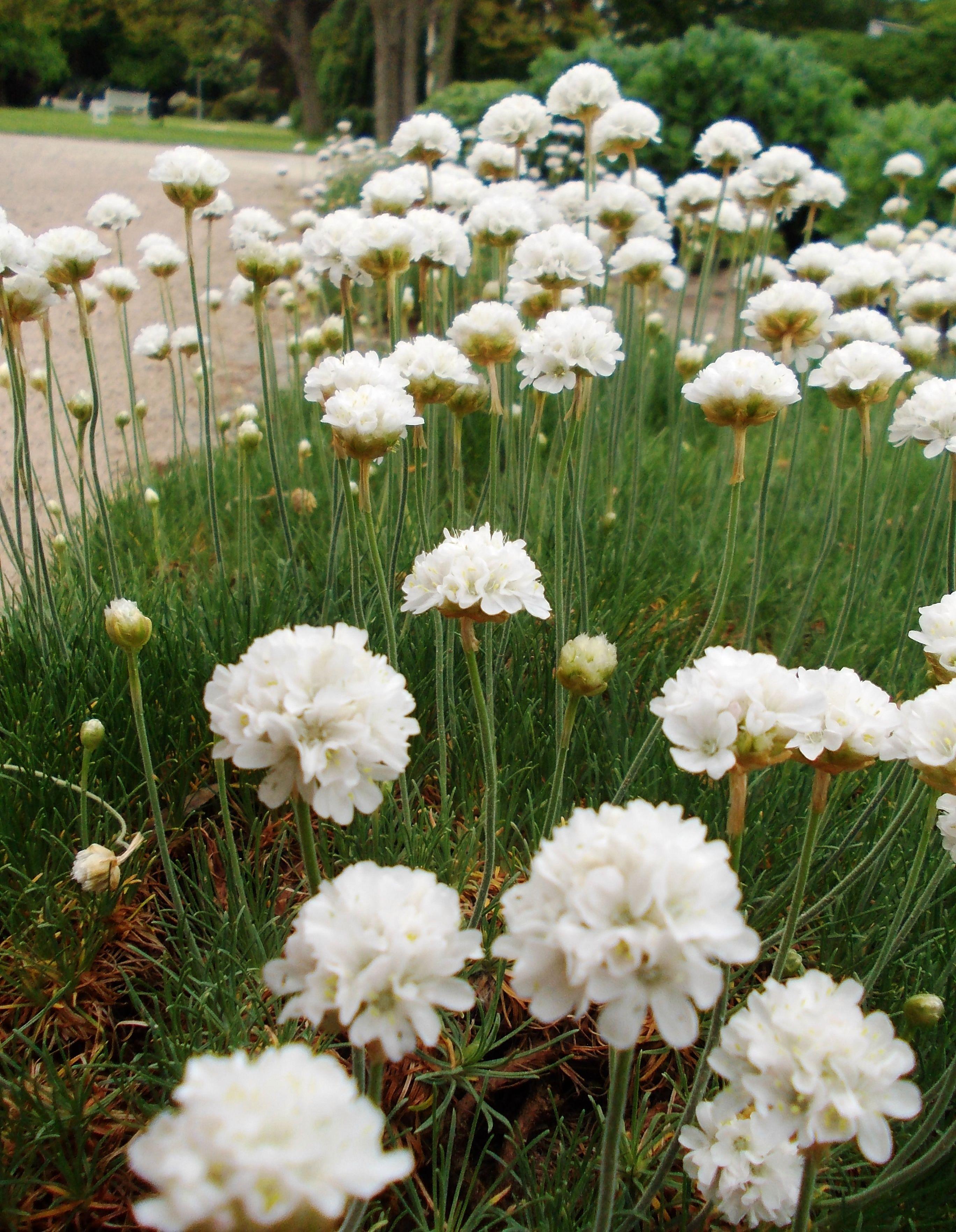 grasnelke | garten | pinterest | beeteinfassung, pflanzen und gärten