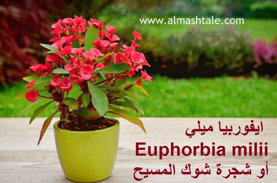 ايفوربيا ميلي Euphorbia Milii أو ايفوربيا شوك المسيح كما هو شائع اسمها من النباتات العصارية الجميلة دائمة الخضرة موطنها ال Euphorbia Milii Euphorbia Plants