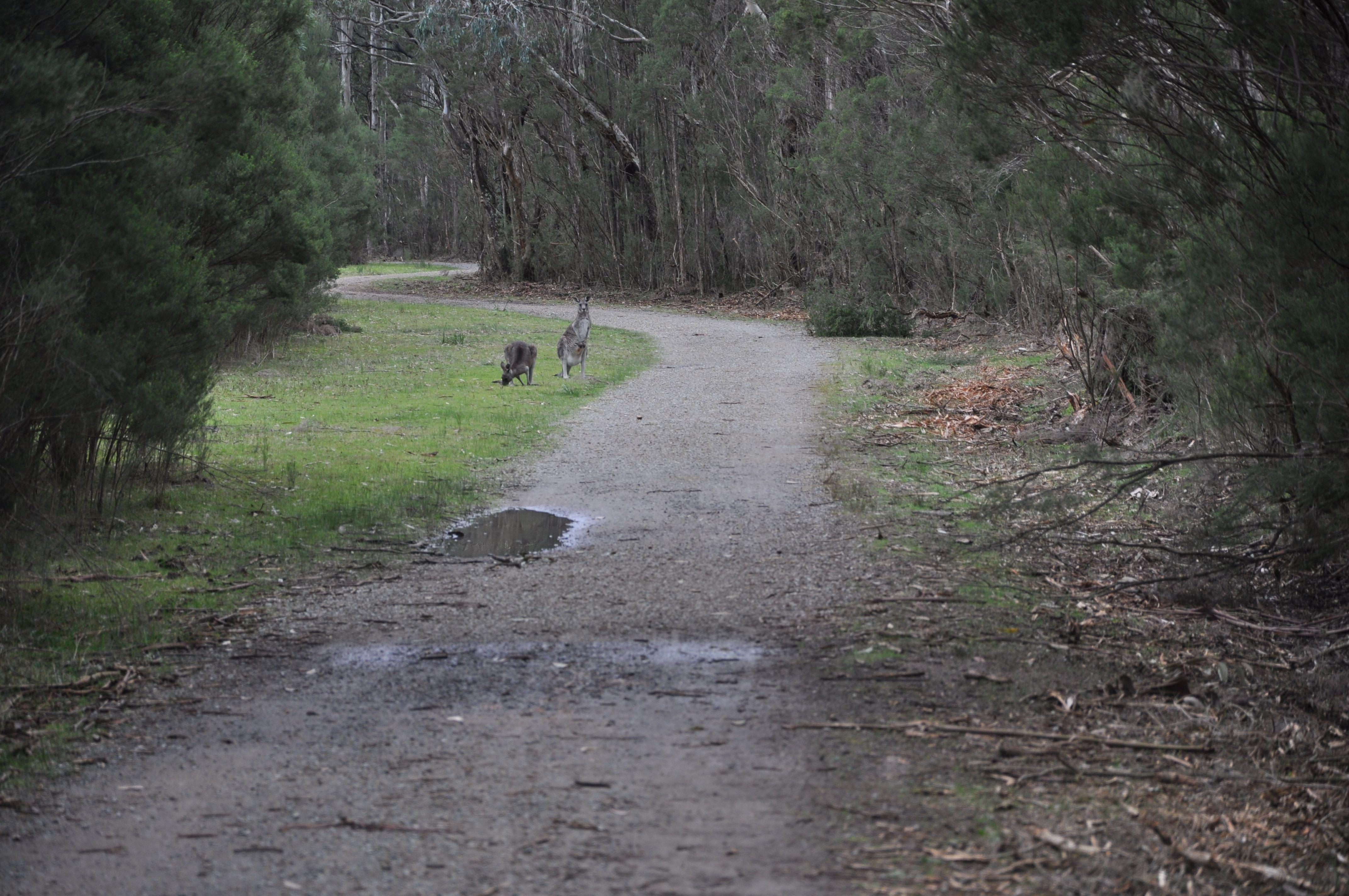 #roads #canguros #australia