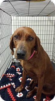 Joplin Mo Redbone Coonhound Mix Meet June 3246 A Dog For