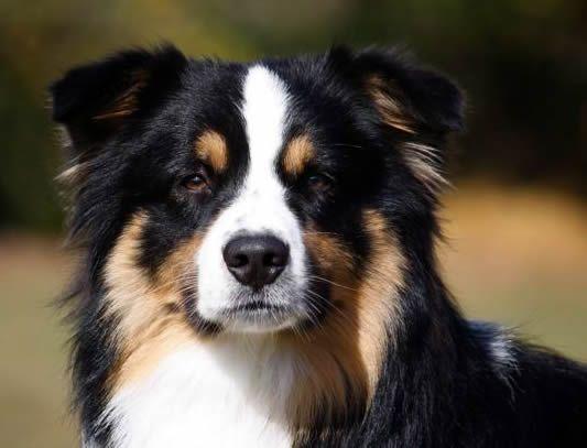 Black Tri Aussie Australian Shepherd Aussie Dogs Australian