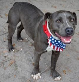 Adopt Rick On Terrier Mix Dogs Pitbull Terrier Cute Animals