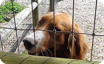 Jacksonville, FL - Gordon Setter/Irish Setter Mix. Meet Teddy a Dog for Adoption.