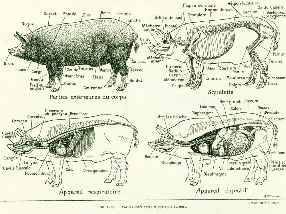 1922 Antique PIG Print, Pig Anatomy, Veterinary, Vintage Farm ...