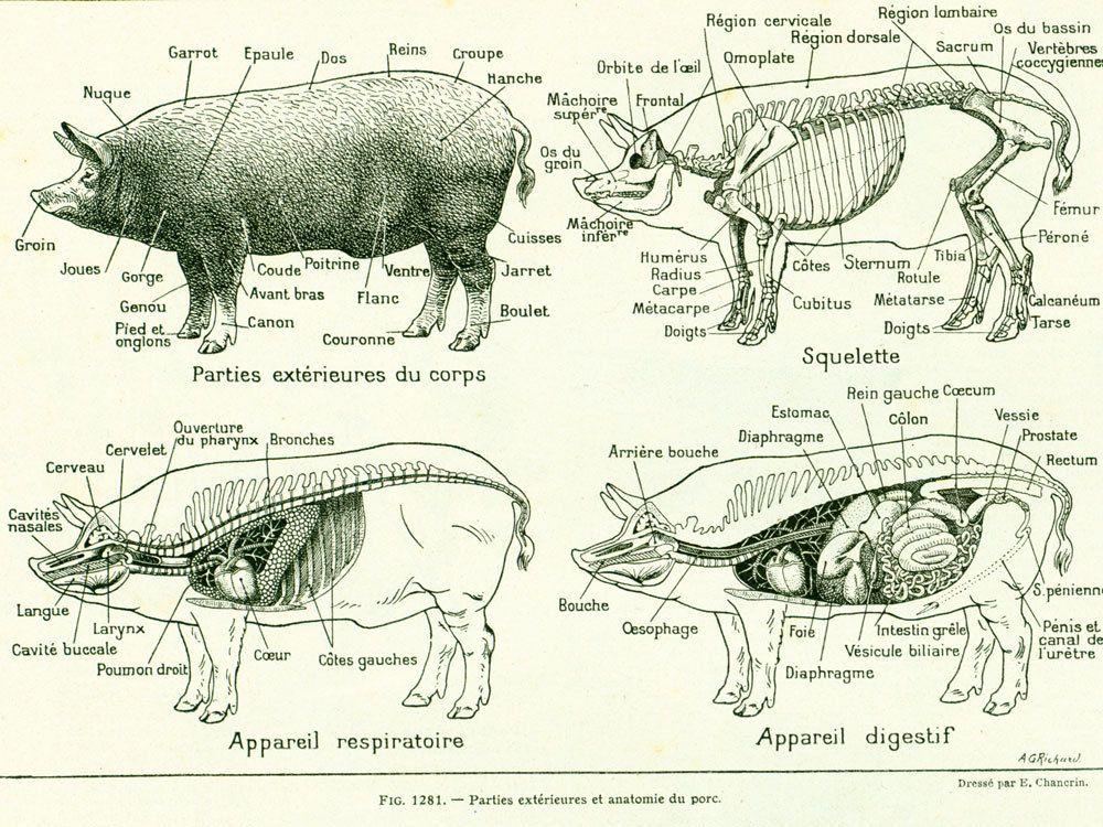 Connu 1922 Anatomie du Porc, Suidés, Planche vétérinaire, Ancienne  GE22