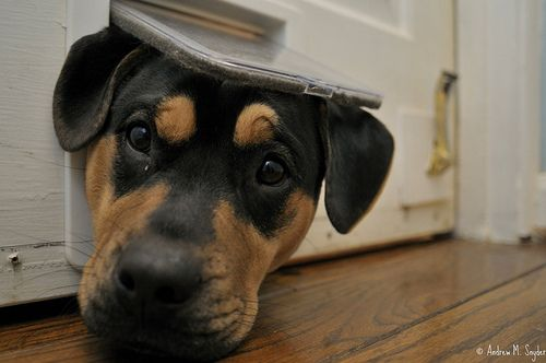 Someone Told Me I Should Get A Doggy Door For My Rottie Too Bad