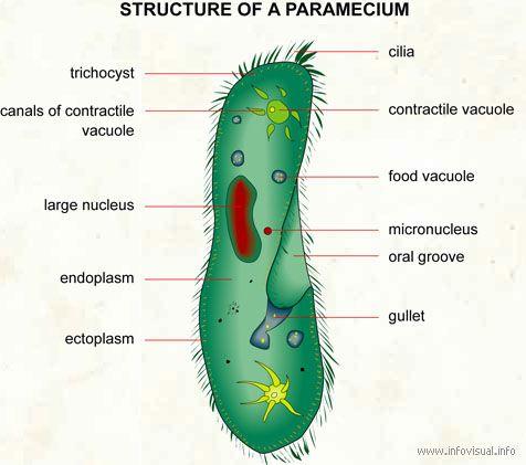 image result for paramecium