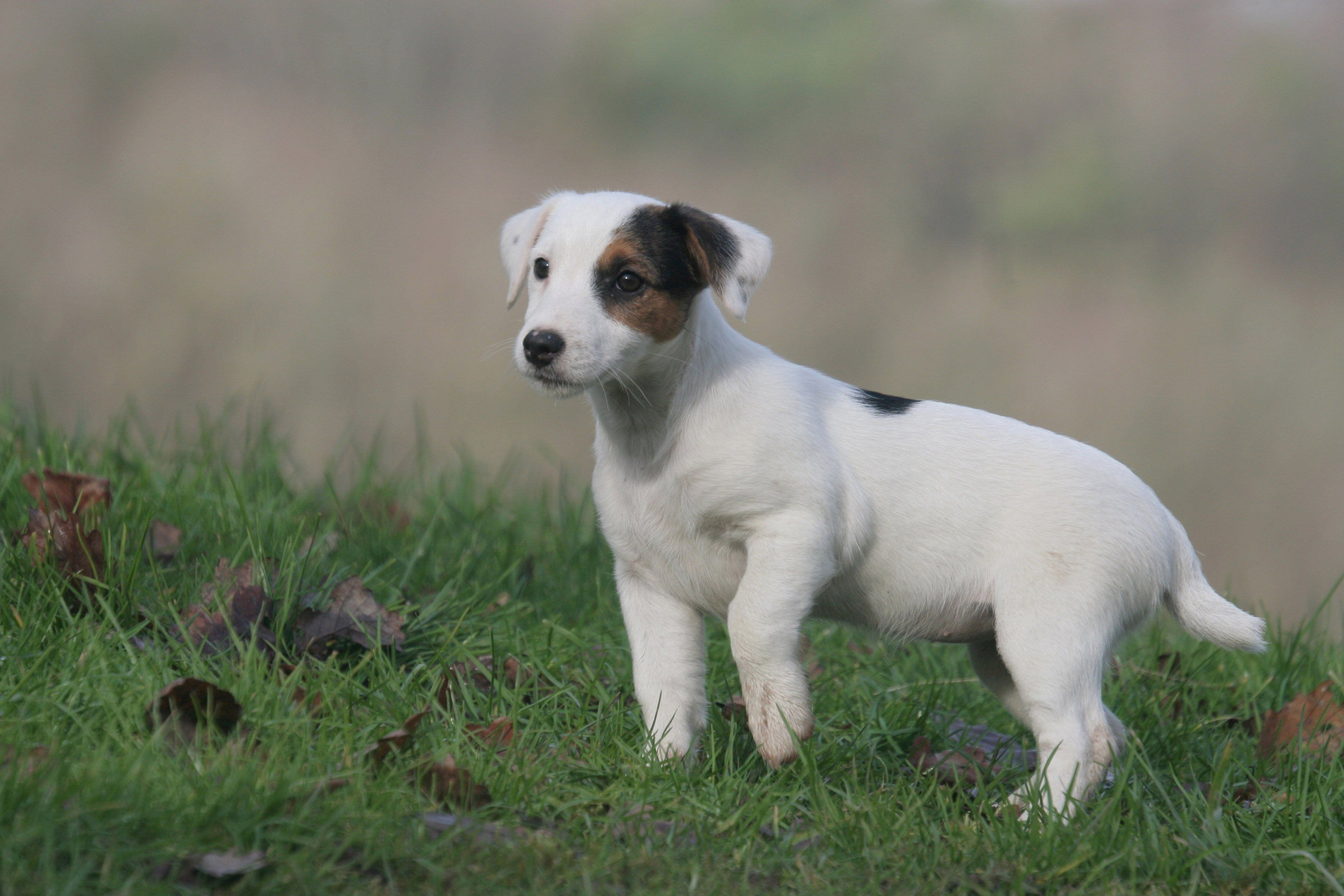 jack russell terrier   Dogs   Pinterest   Russell terrier, Terrier ...