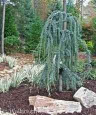 Weeping Dwarf Trees Zone 5 Blue Atlas Cedar
