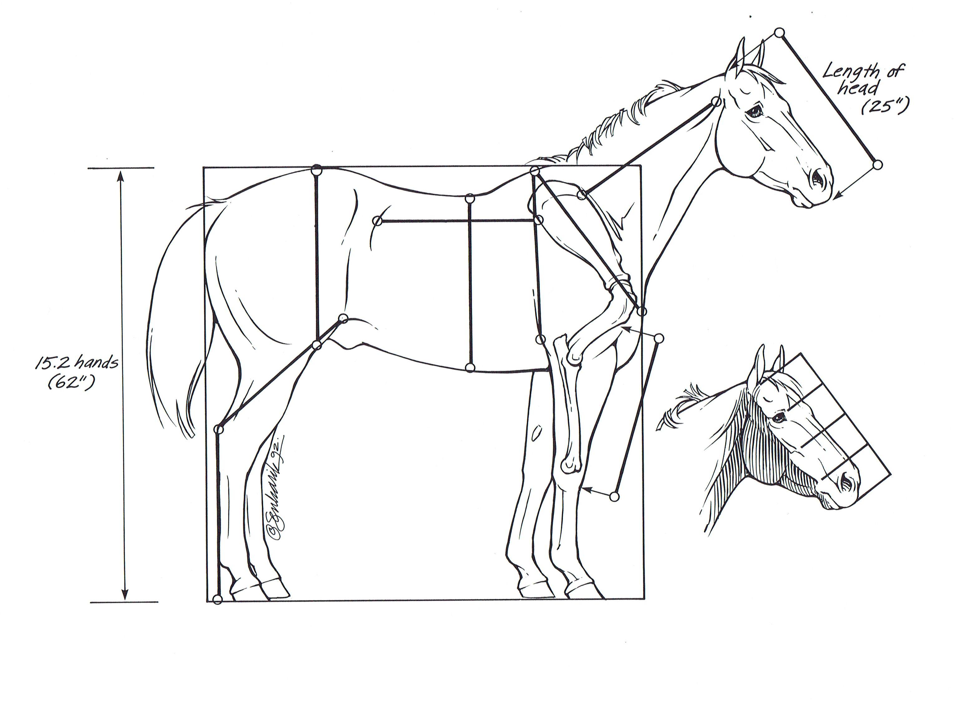 lulu-horse-anatomy-head-lengths.jpg 3,069×2,248 pixels | Drawing ...