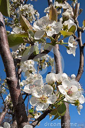 Stratford Oklahoma Is Famous For It S Fruit Trees The Pear Trees Produce Beautiful White Blossoms That Bloom Early In The Sp Pear Blossom Fruit Trees Blossom
