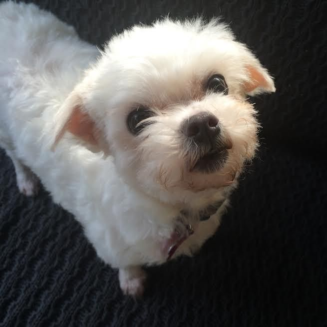 Adopt Mimi On Petfinder Poodle Mix Dogs Maltese Poodle Mix Maltese Poodle