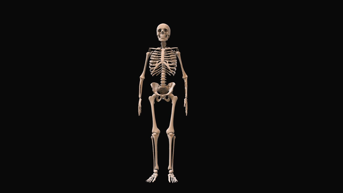 skeleton anatomy model for educational and motion graphics | 3D ...