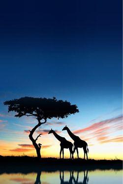 Safari giraffe #giraffe #wildlife #animals