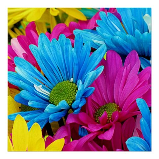 Colorful Hot Pink Teal Blue Gerber Daisies Flowers Poster Zazzle