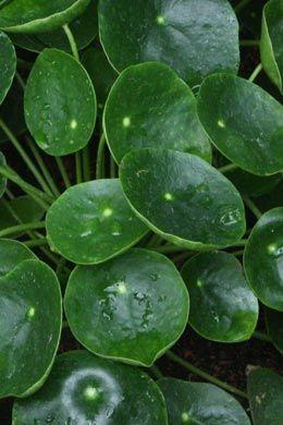 Blattschmuckpflanzen diverse sorten tolle seite zimmerpflanzen pflege plaaaaants pinterest - Tolle zimmerpflanzen ...