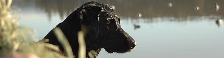 Hunt dog on the lookout for ducks food animals dog