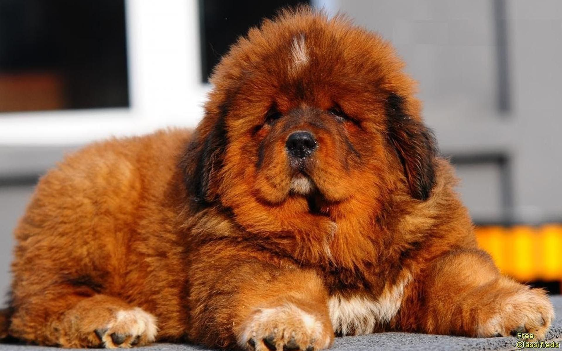 Red Tibetan Mastiff Puppies