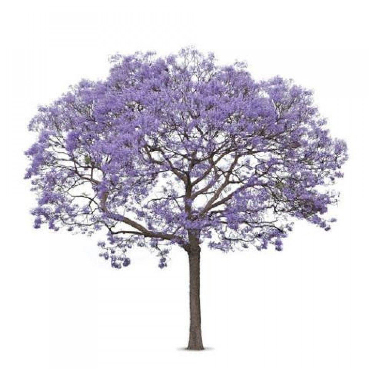 Jacaranda garden pinterest for Vegetacion ornamental