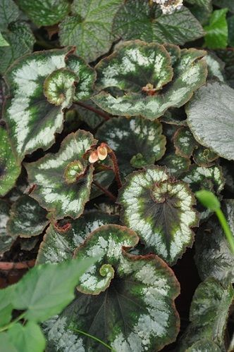 Begonia Princess Of Hanover From Steve S Leaves Begonia