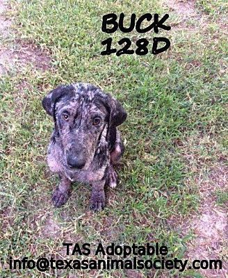 Status Unknown Buck A Catahoula Leopard Dog For Adoption In