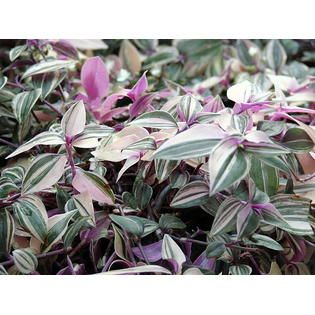 Wandering jew plant care requires bright indirect light. If the light is too dim, the leaf markings will fade. Keep the soil slightly moist, but don't water directly into the crown as this will cause an unsightly rot in your wandering jew plant. Care should be taken, particularly in winter, that the plant doesn't become too dry. Mist wandering jew plants frequently. Feed your plant monthly with a half-strength liquid fertilizer. An important part of growing wandering jew plants is pinching b... #wanderingjewplant