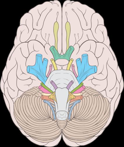 Brain human normal inferior view.svg   Body   Pinterest   Brain