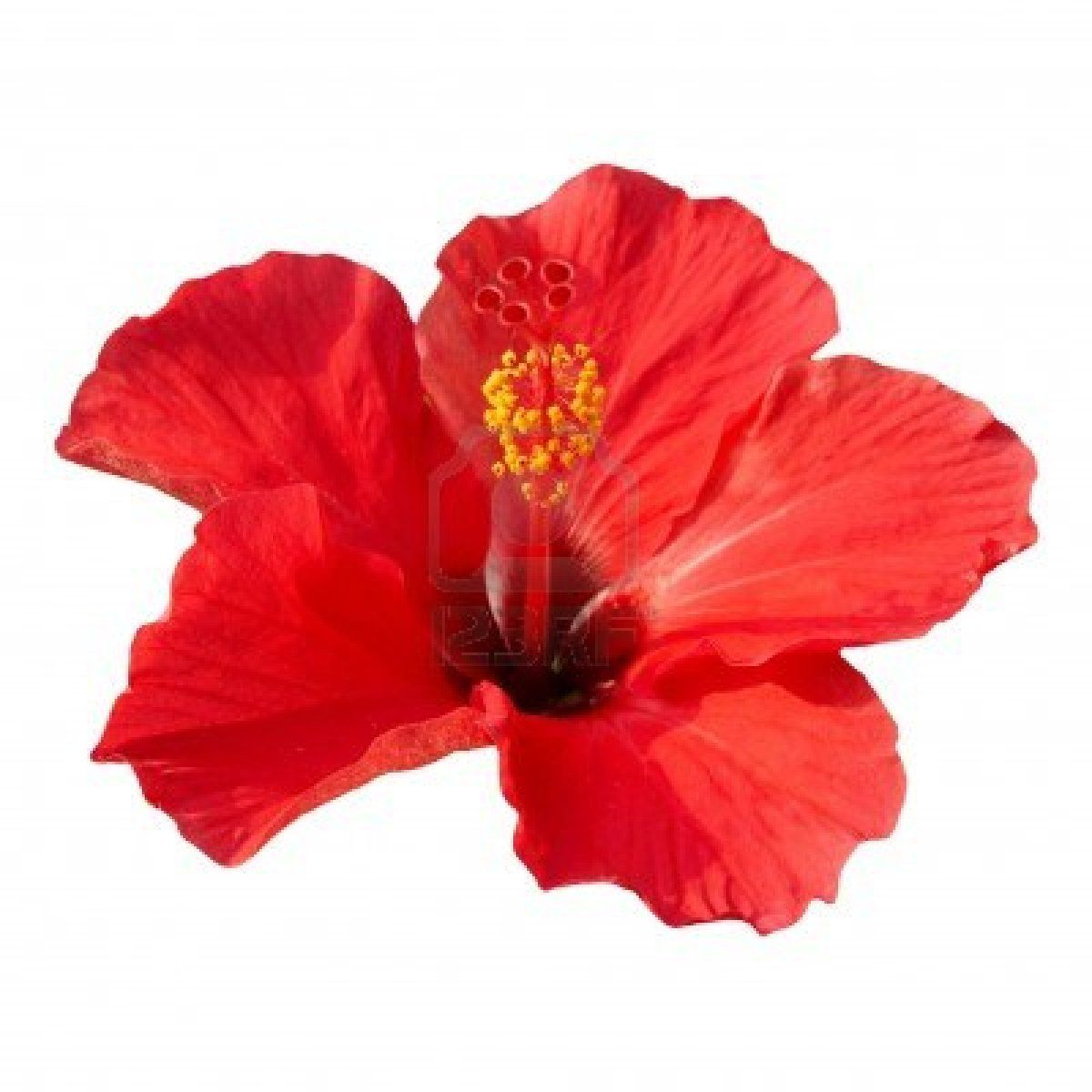 Red Flower Hibiscus Rosa Sinensis Isolated On White Hibiscus Rosa Sinensis Flowers Red Flowers