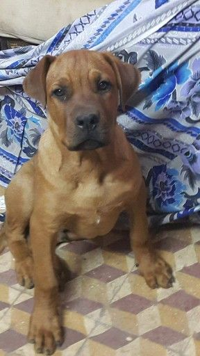 Mastweiler Rottweiler X Mastiff Mix Dogs Pinterest