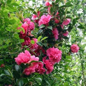 Top 10 Common Flowering Bushes Flowering Bushes Plants