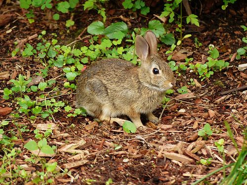 Keep rabbits out of garden using essential oils from the - How to keep rabbits out of a garden ...
