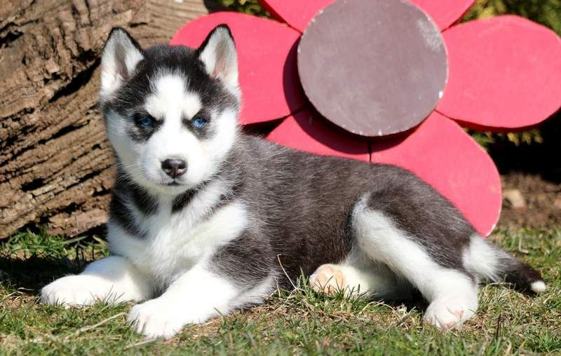 Siberian Husky Puppy For Sale In Mount Joy Pa Adn 71025 On