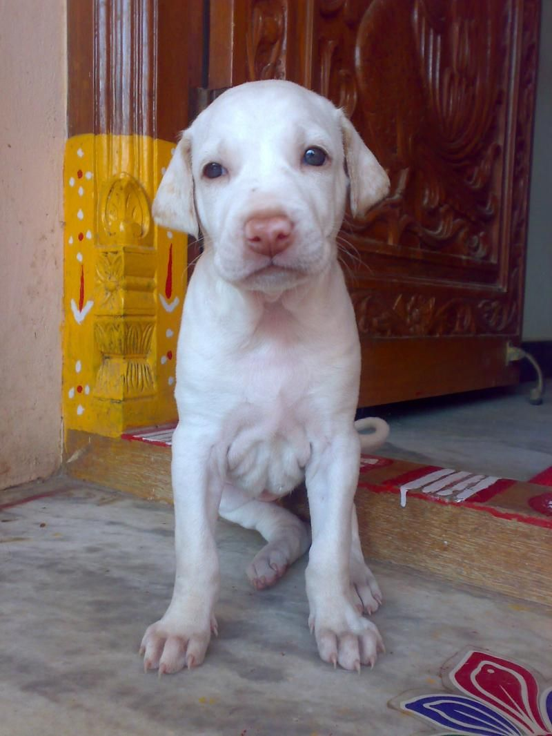 rajapalayam dog photo | Rajapalayam puppy photo and