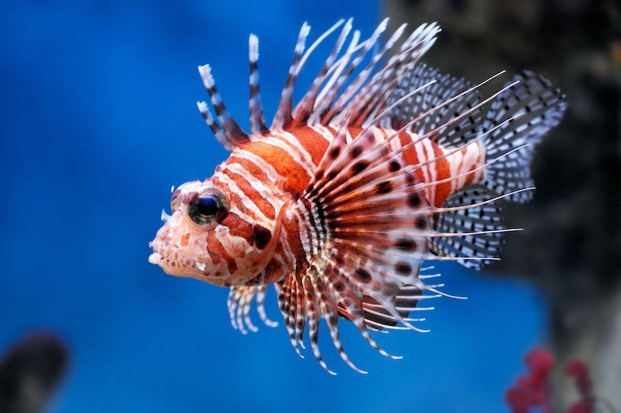 Lion Fish Lion Fish Fish Marine Fish