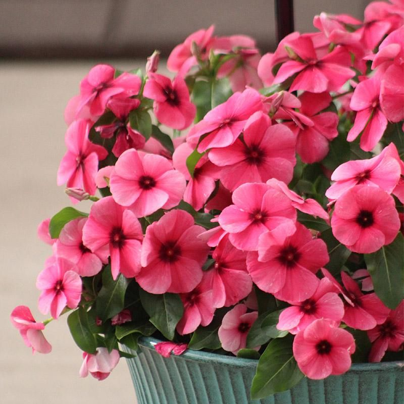 Vinca Tattoo Raspberry Flower Aesthetic Flowers Perennials