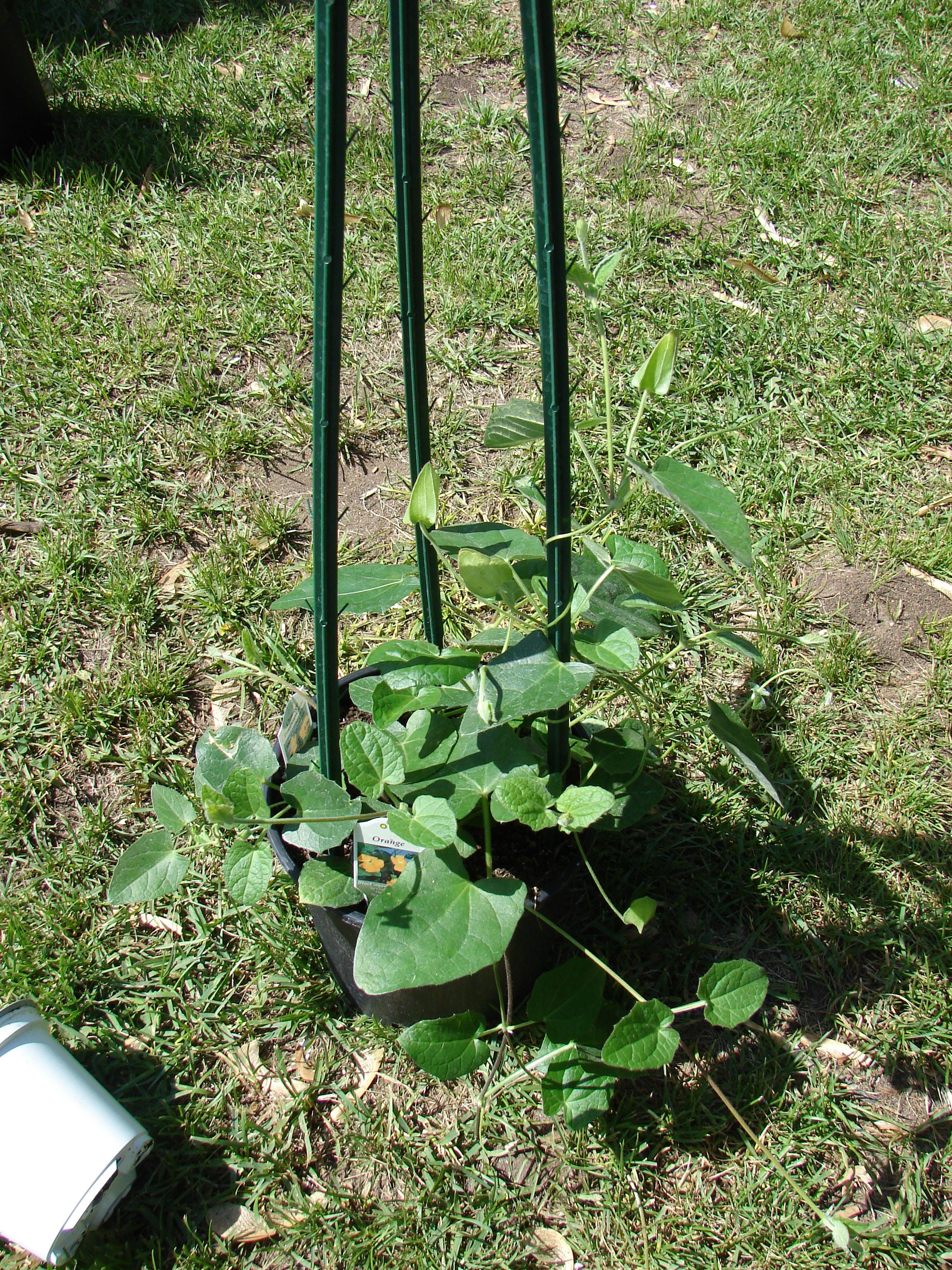Here Is The 2nd Plant For This Project It Is Called A Black Eyed