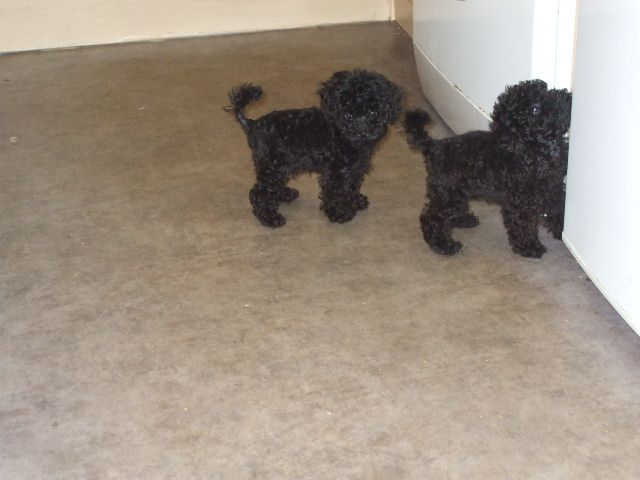 Pedigree Toy Poodles Pure Bred Poodle Toy Poodle Puppies